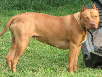 Red Nose American Pit Bull Terriers