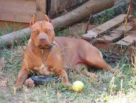 sadie female red nose american pit bull terrier