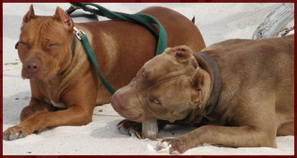 AJ's Reds - Breeding Red Nose American Pit Bull Terriers
